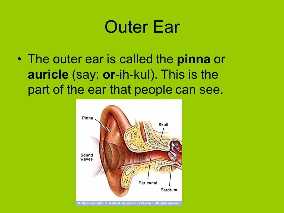 Outer Ear The outer ear is called the pinna or auricle (say: or-ih-kul).
