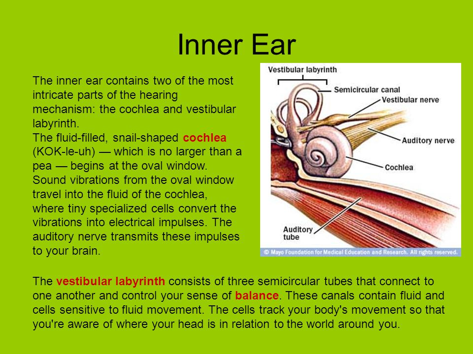 Inner Ear The inner ear contains two of the most intricate parts of the hearing mechanism: the cochlea and vestibular labyrinth.