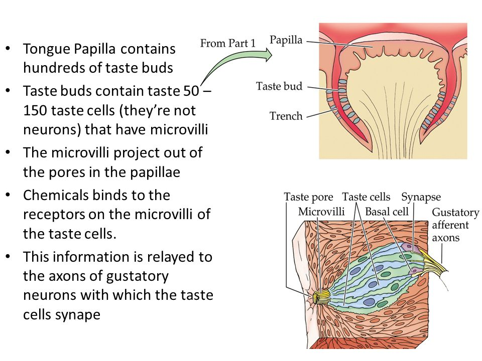 Tongue Papilla contains hundreds of taste buds