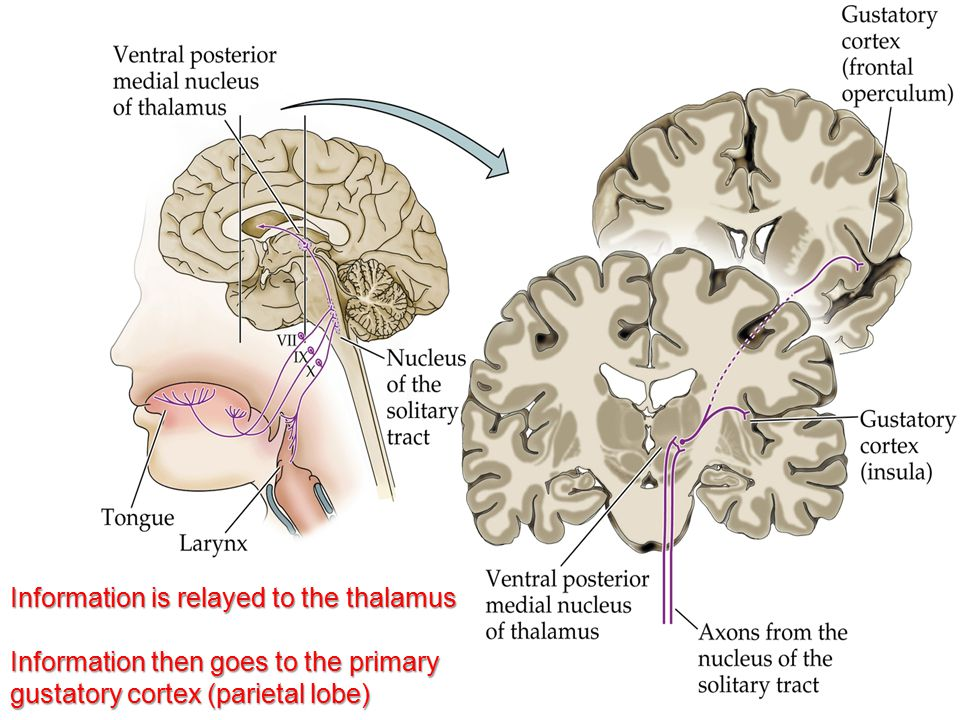 Information is relayed to the thalamus