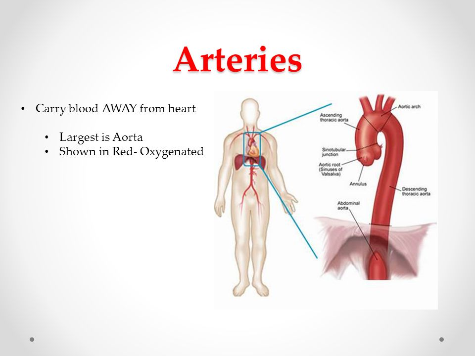 Arteries Carry blood AWAY from heart Largest is Aorta