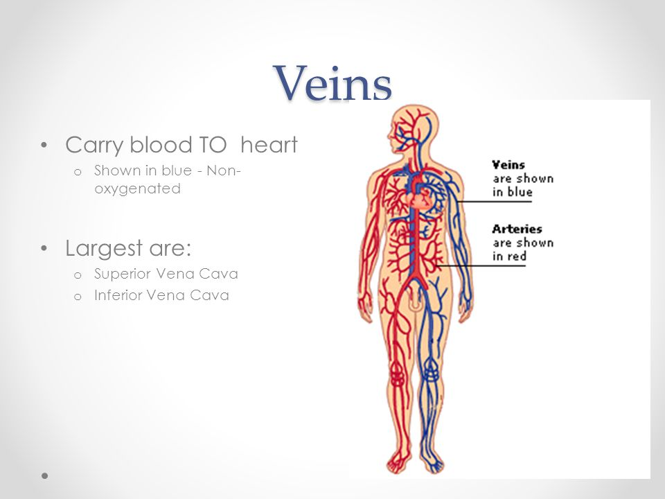 Veins Carry blood TO heart Largest are: Shown in blue - Non-oxygenated