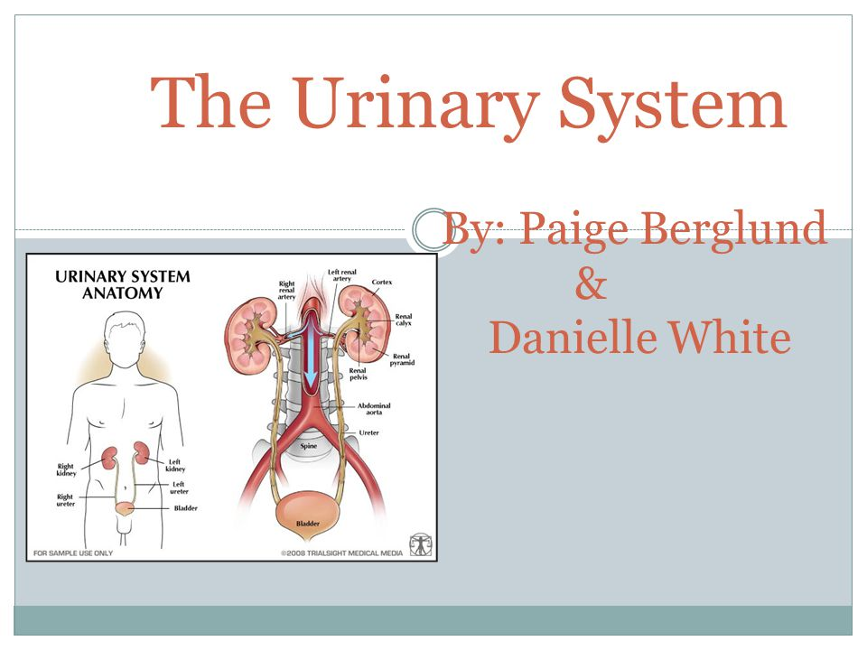 The Urinary System By: Paige Berglund & Danielle White