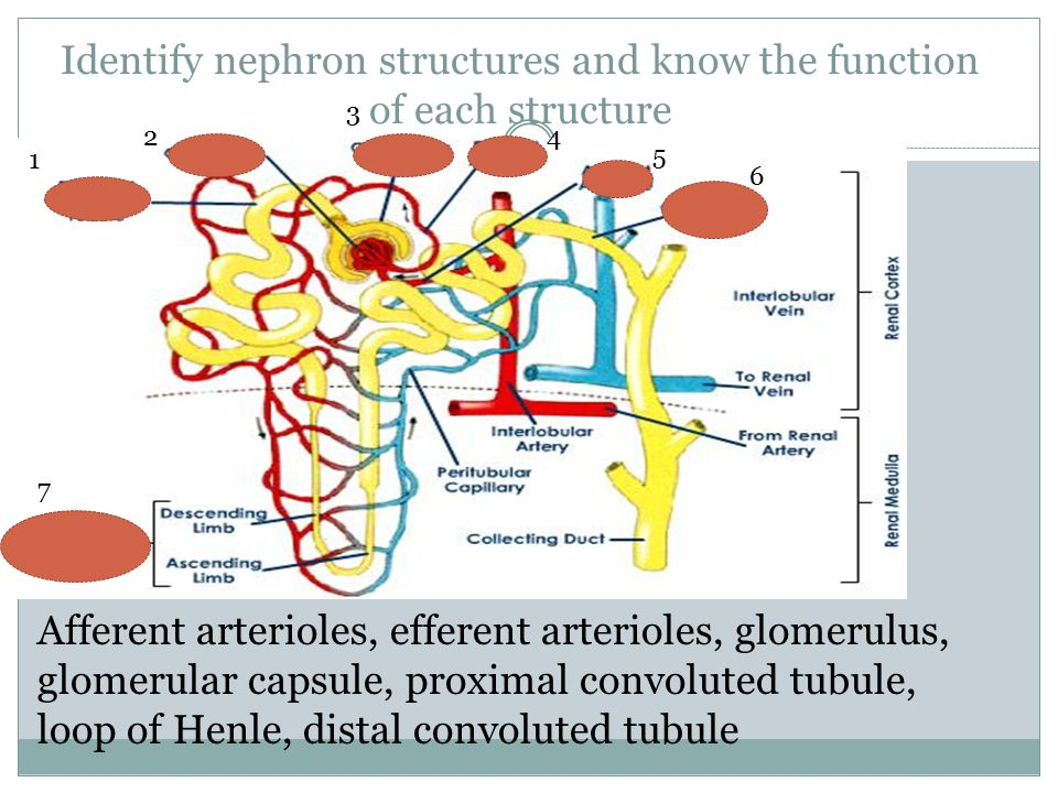 Identify nephron structures and know the function of each structure