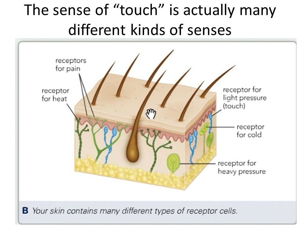The sense of touch is actually many different kinds of senses