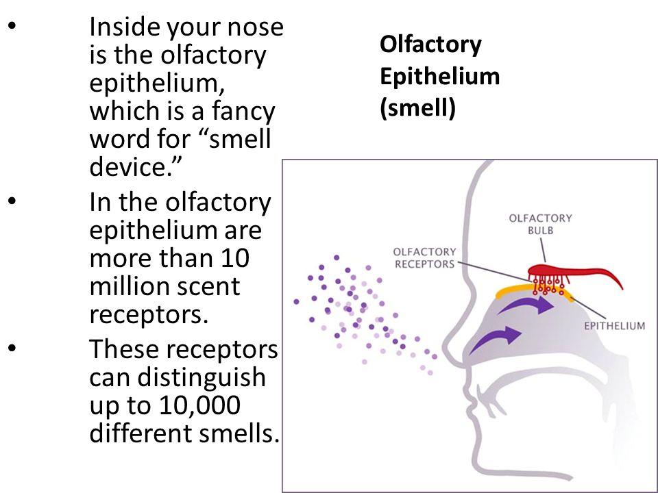 Olfactory Epithelium (smell)