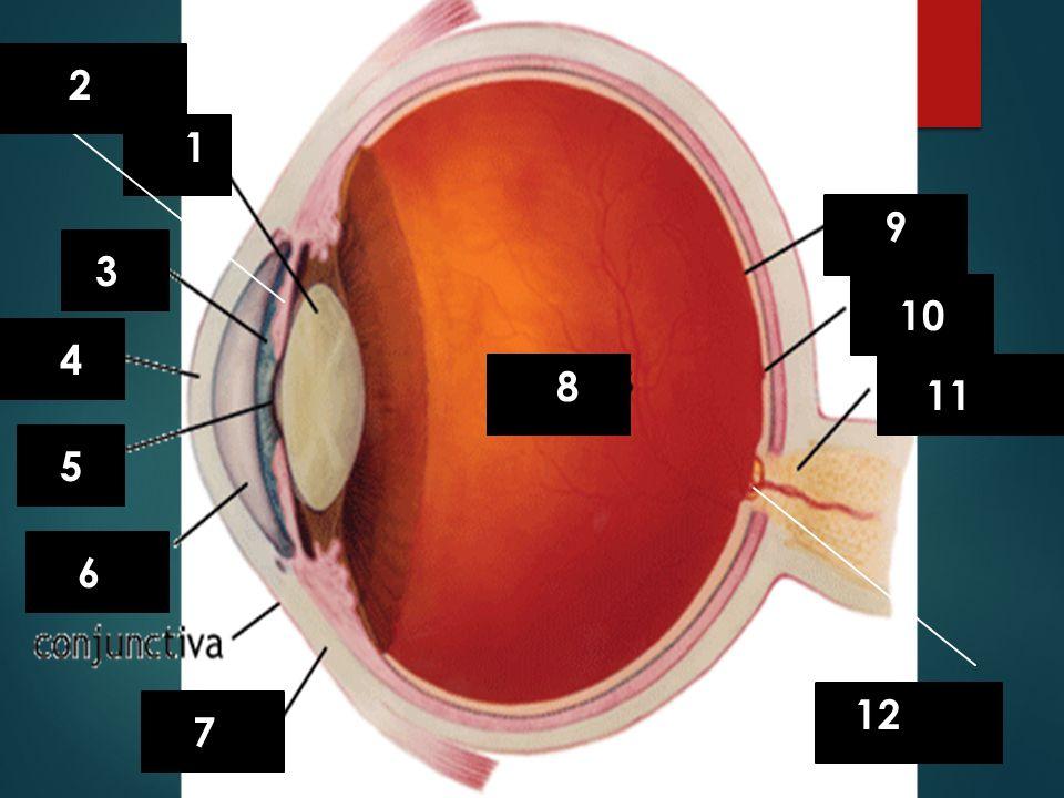 Suspensory ligaments 2 1 9 3 10 4 8 11 humor 5 6 humor Optic Disk 12 7