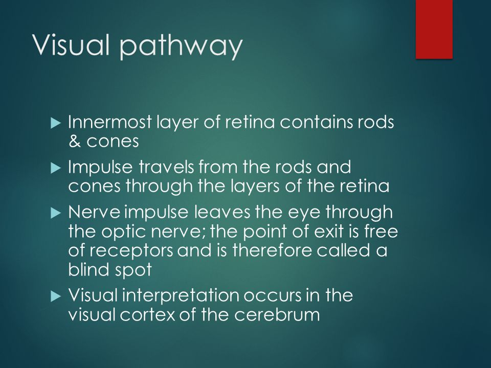 Visual pathway Innermost layer of retina contains rods & cones