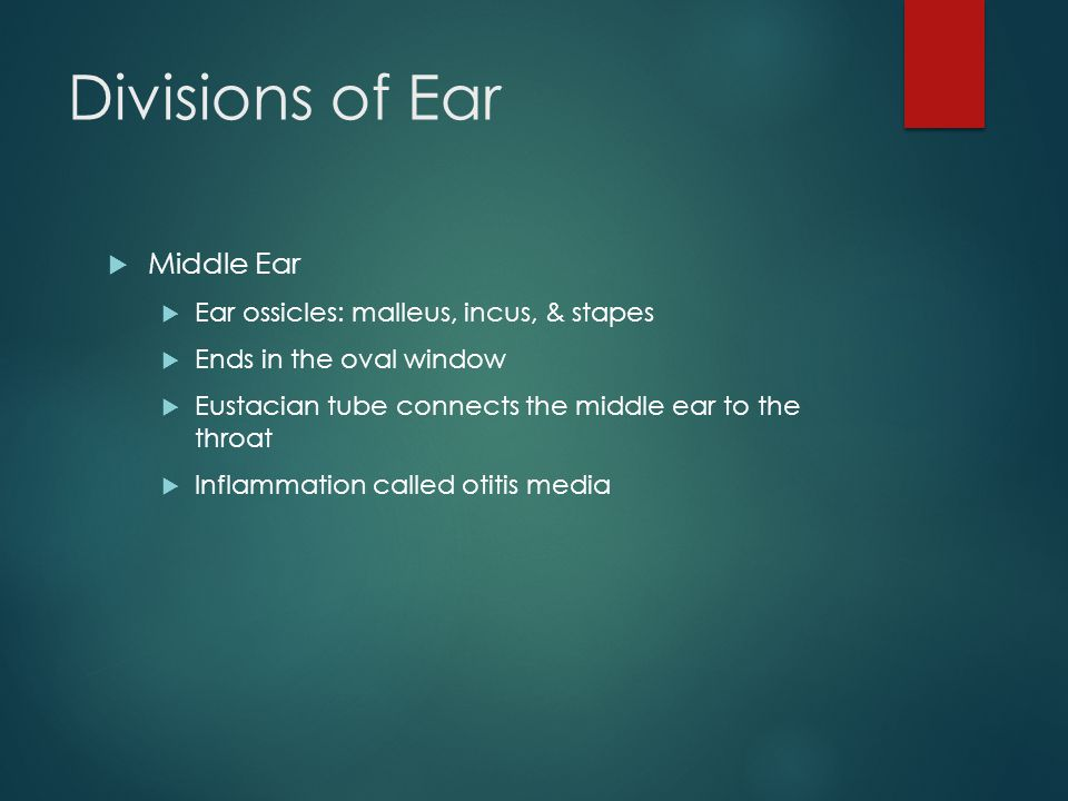 Divisions of Ear Middle Ear Ear ossicles: malleus, incus, & stapes
