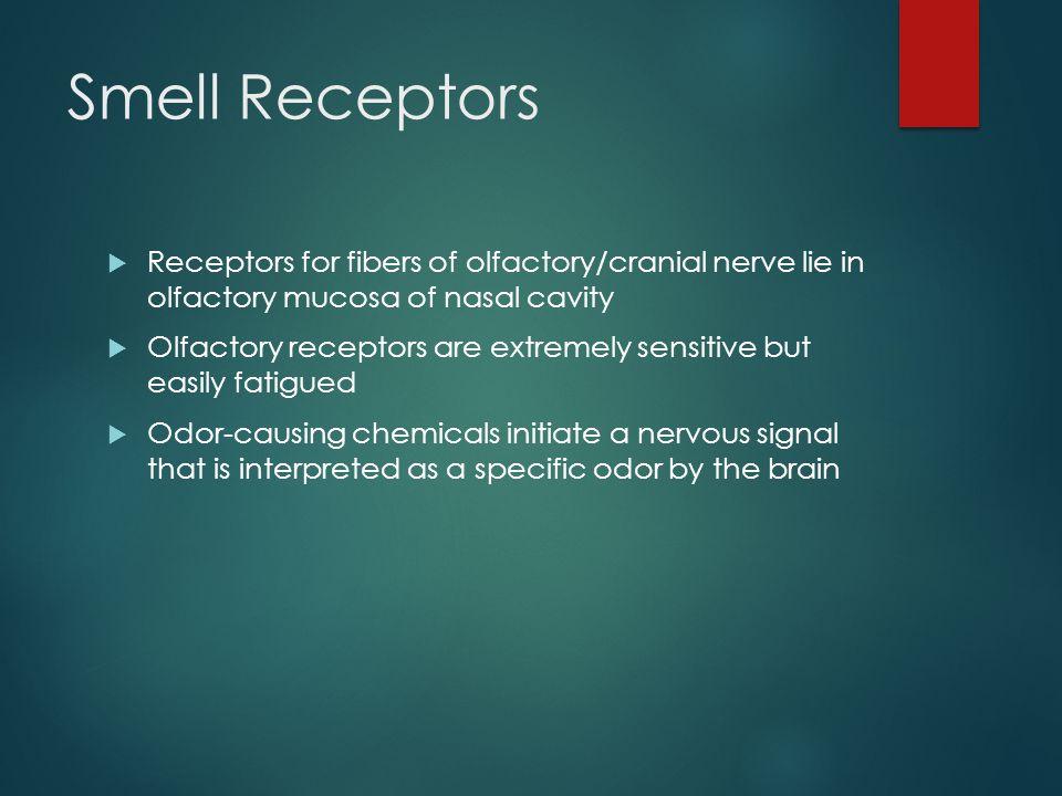 Smell Receptors Receptors for fibers of olfactory/cranial nerve lie in olfactory mucosa of nasal cavity.