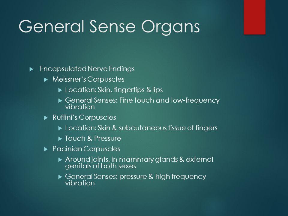 General Sense Organs Encapsulated Nerve Endings Meissner's Corpuscles