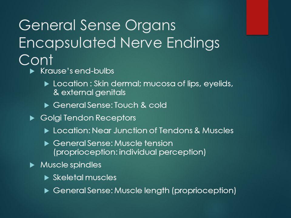 General Sense Organs Encapsulated Nerve Endings Cont