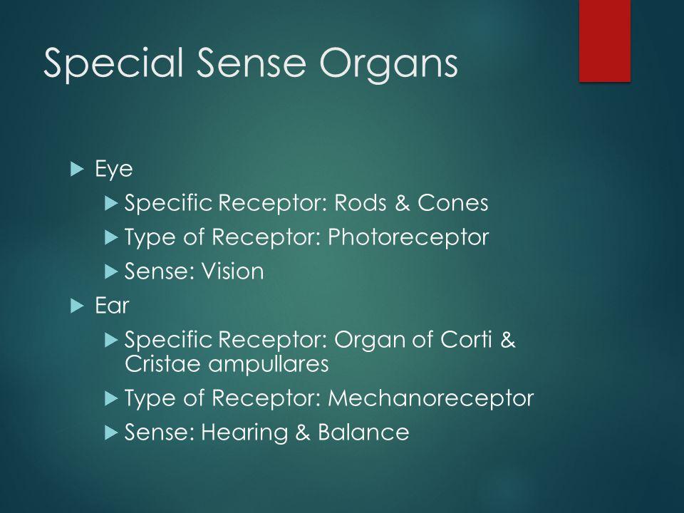 Special Sense Organs Eye Specific Receptor: Rods & Cones