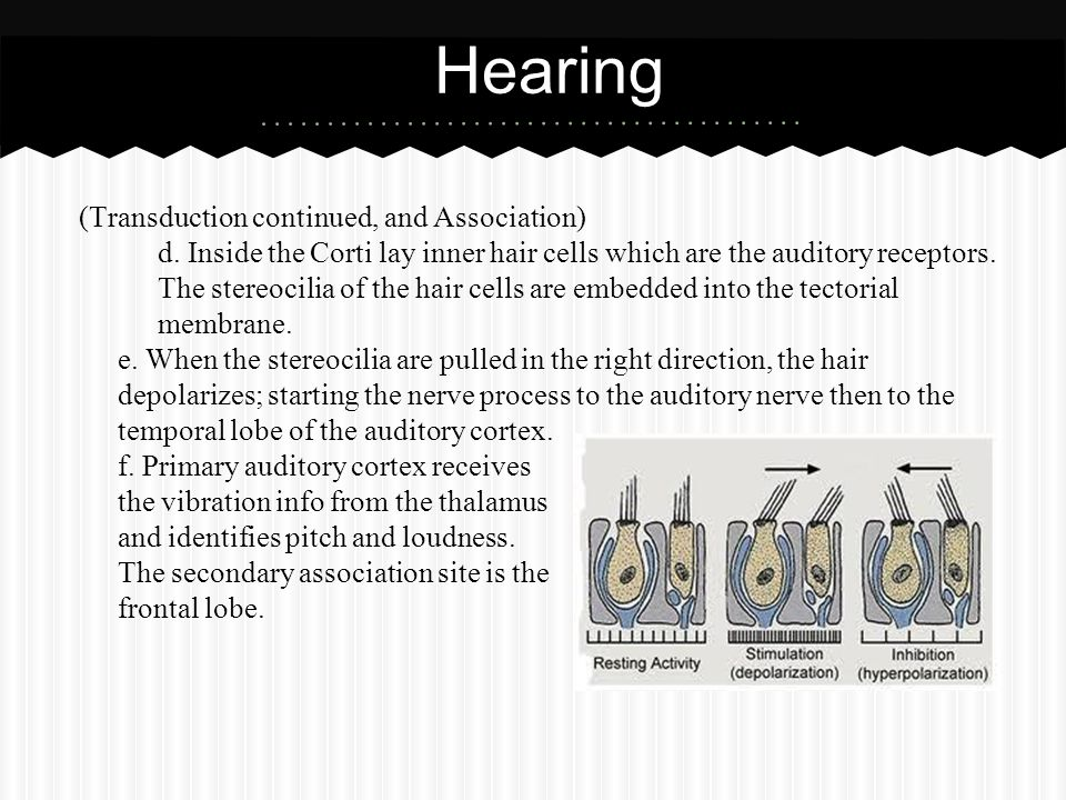 Hearing (Transduction continued, and Association)