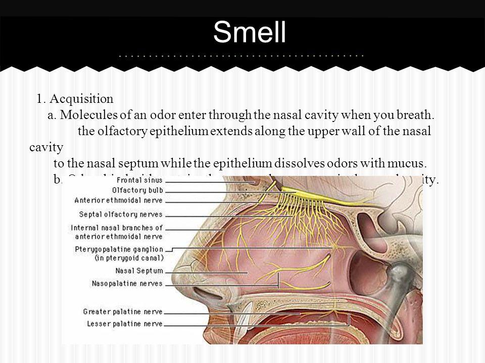 Smell 1. Acquisition. a. Molecules of an odor enter through the nasal cavity when you breath.