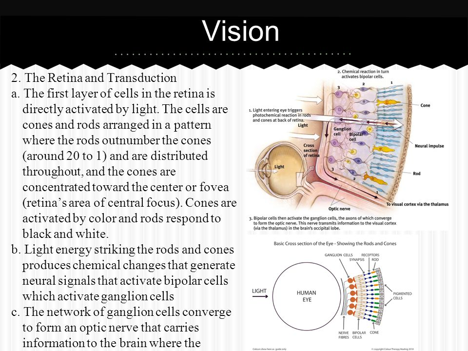 Vision 2. The Retina and Transduction