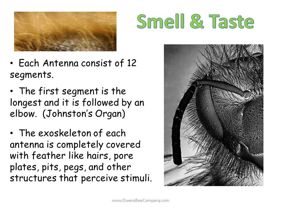 Smell & Taste Each Antenna consist of 12 segments.
