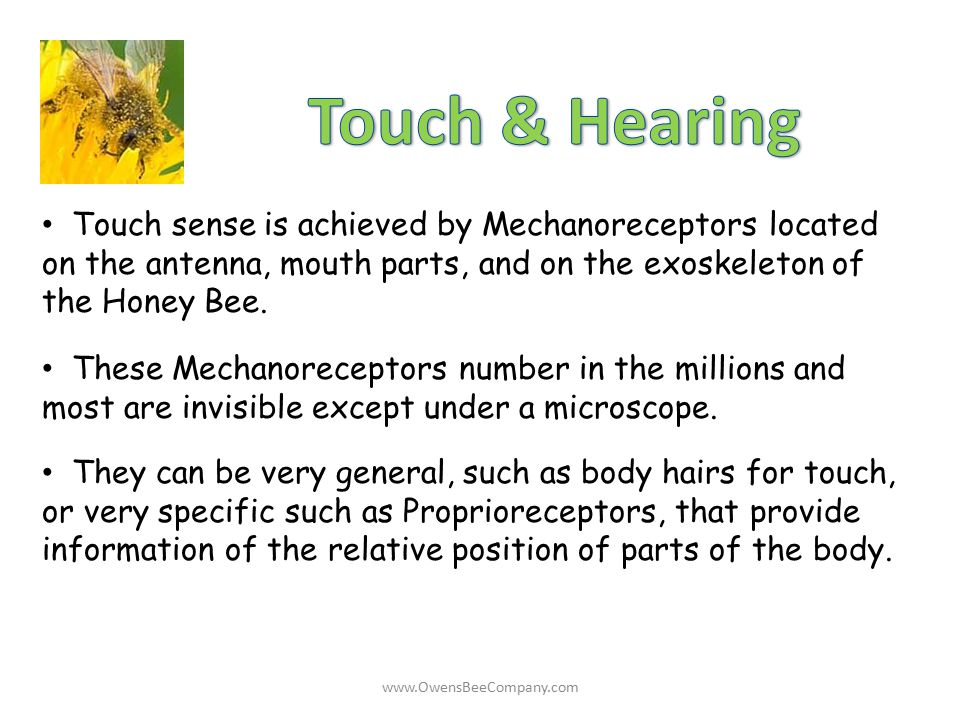 Touch & Hearing Touch sense is achieved by Mechanoreceptors located on the antenna, mouth parts, and on the exoskeleton of the Honey Bee.