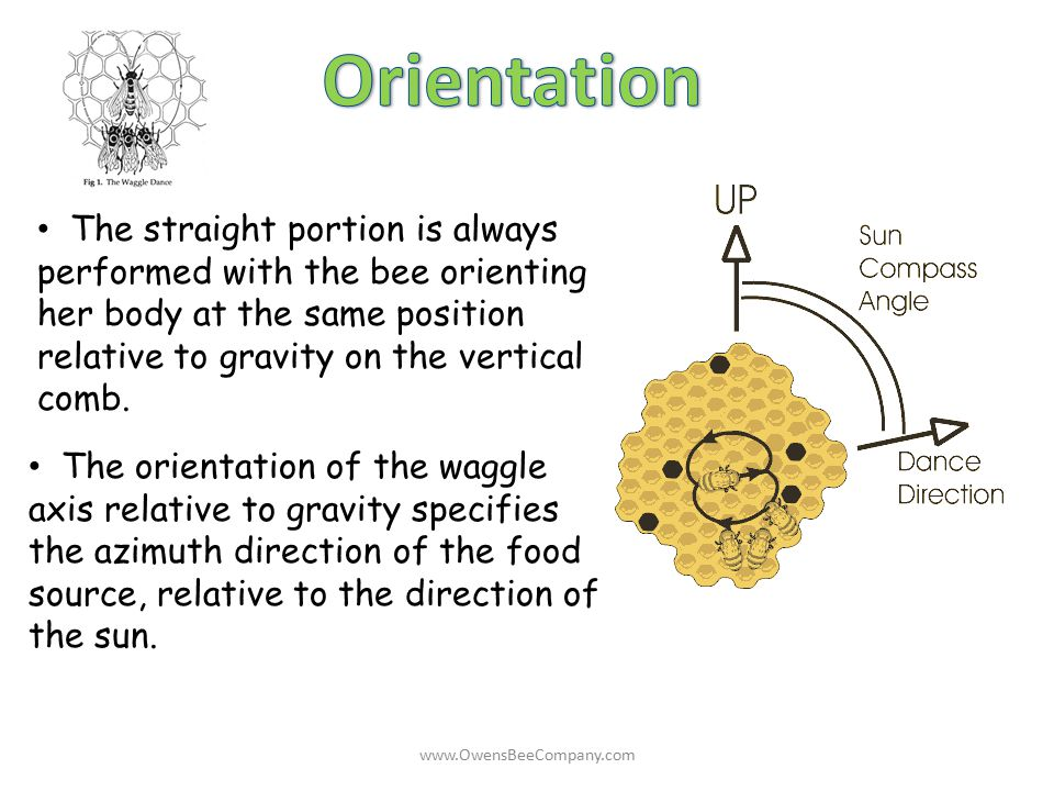 Orientation The straight portion is always performed with the bee orienting her body at the same position relative to gravity on the vertical comb.
