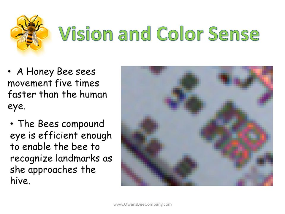 Vision and Color Sense A Honey Bee sees movement five times faster than the human eye.