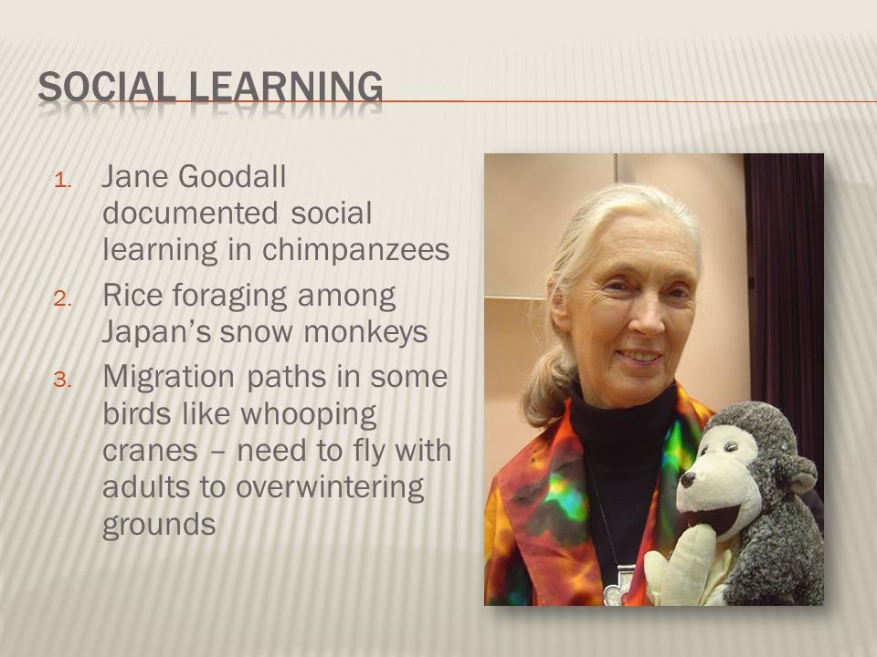 Social Learning Jane Goodall documented social learning in chimpanzees