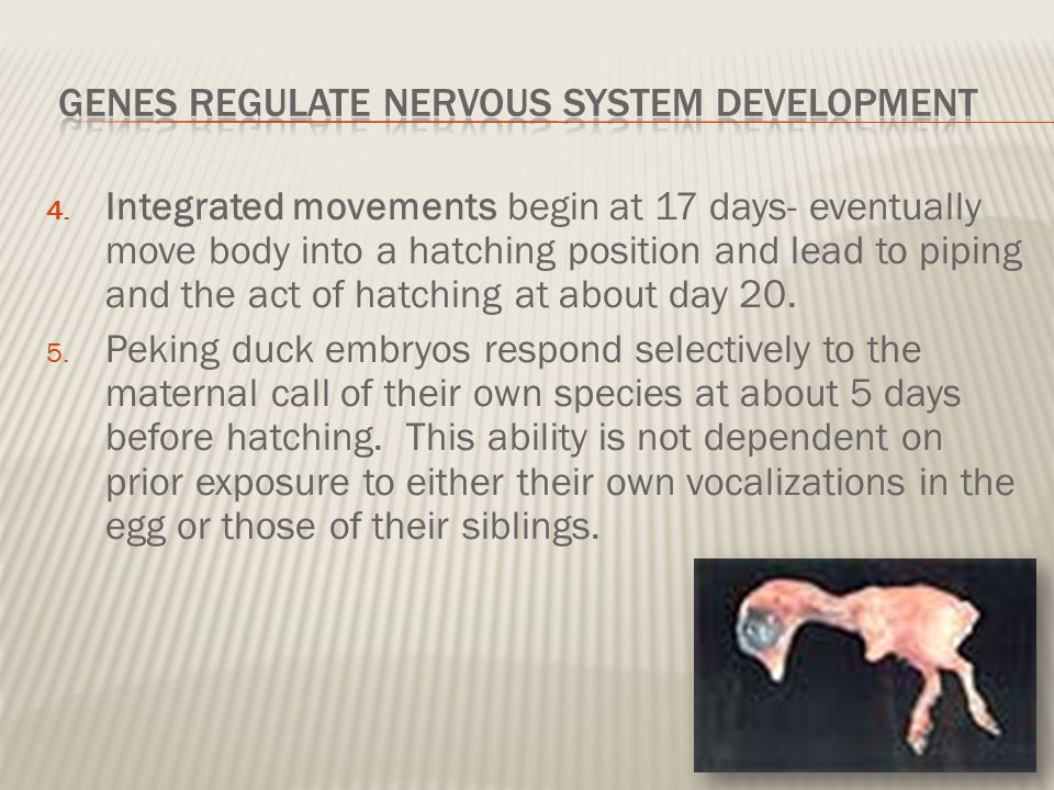 Genes regulate nervous System Development