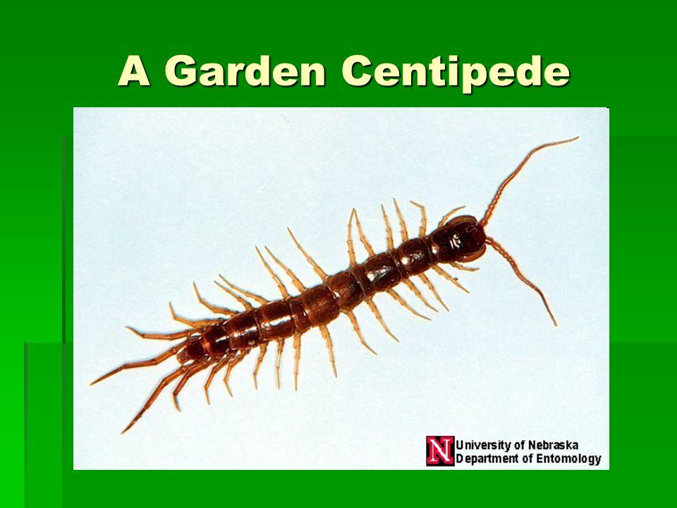 A Garden Centipede