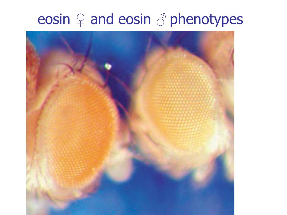 eosin ♀ and eosin ♂ phenotypes