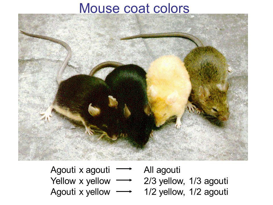Mouse coat colors Agouti x agouti Yellow x yellow Agouti x yellow