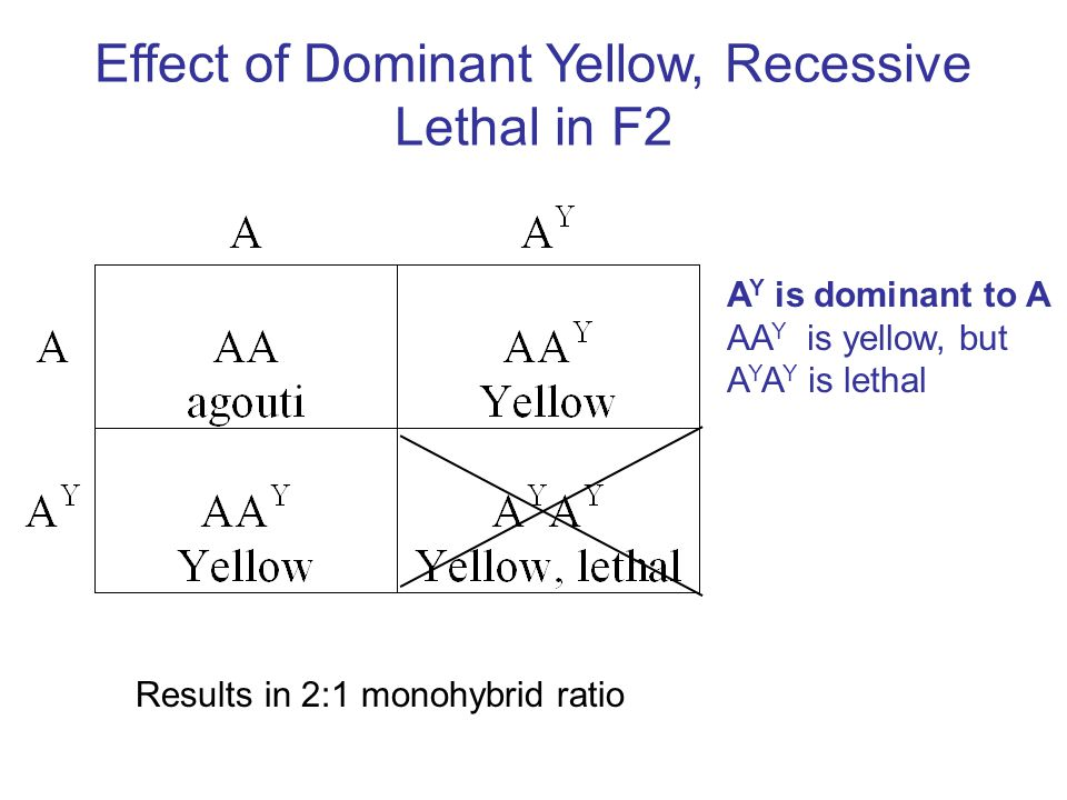 Effect of Dominant Yellow, Recessive Lethal in F2