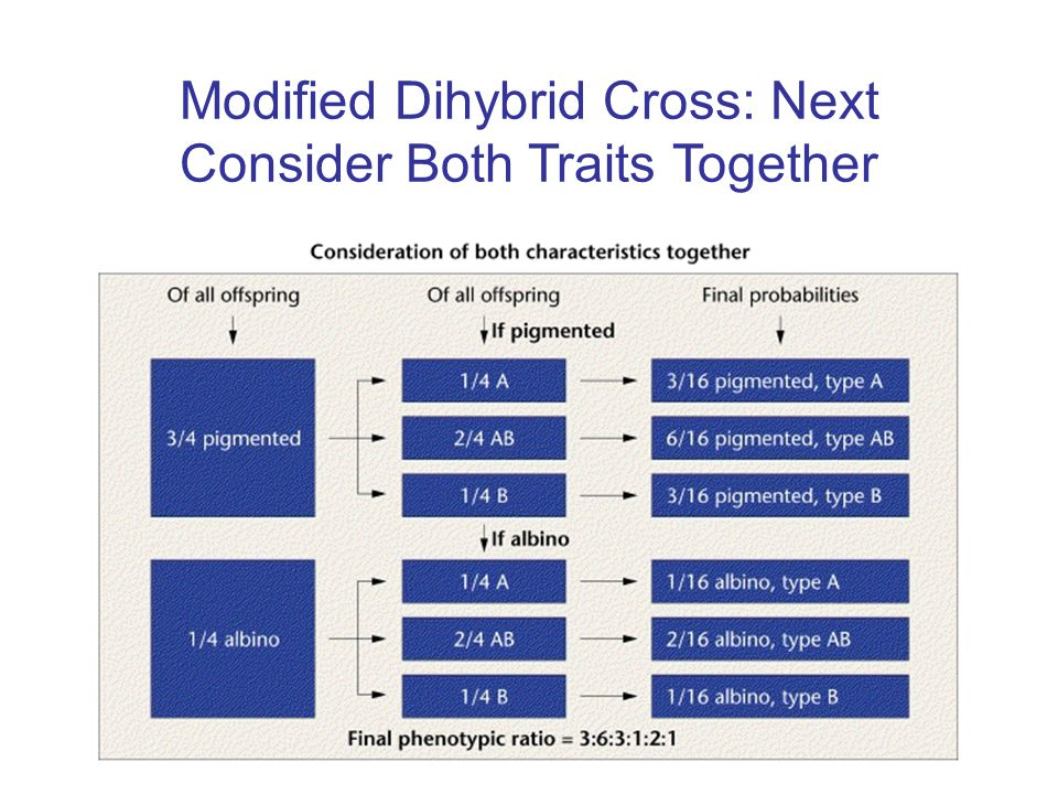 Modified Dihybrid Cross: Next Consider Both Traits Together