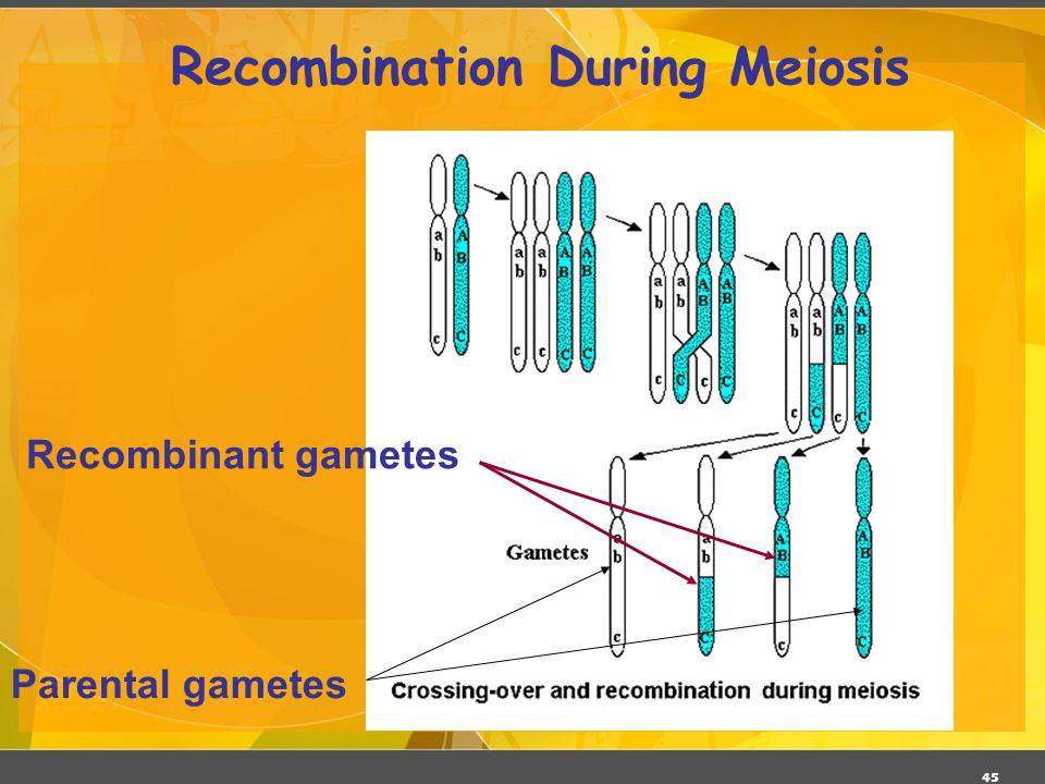 Recombination During Meiosis
