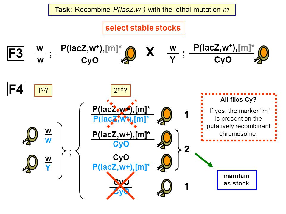 Task: Recombine P(lacZ,w+) with the lethal mutation m