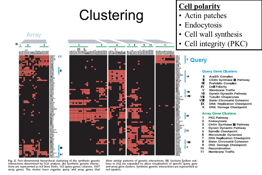 Clustering Cell polarity Actin patches Endocytosis Cell wall synthesis