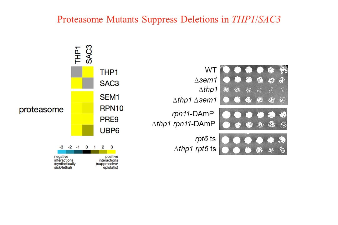 Proteasome Mutants Suppress Deletions in THP1/SAC3