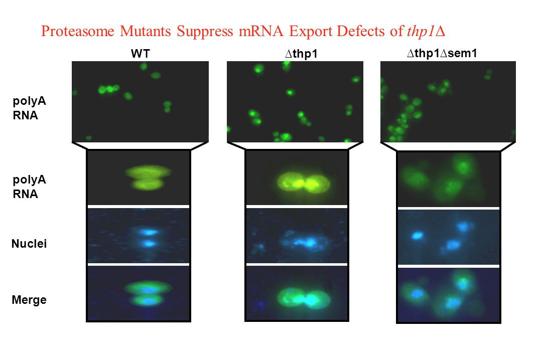 Proteasome Mutants Suppress mRNA Export Defects of thp1∆