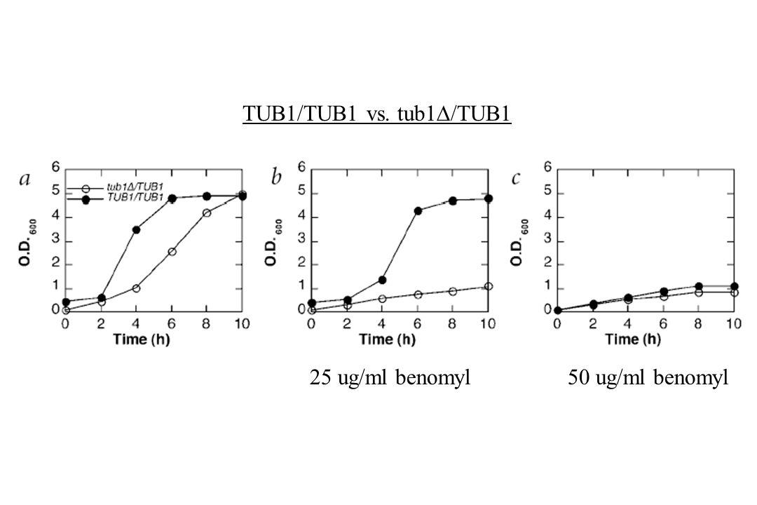 TUB1/TUB1 vs. tub1/TUB1 25 ug/ml benomyl 50 ug/ml benomyl