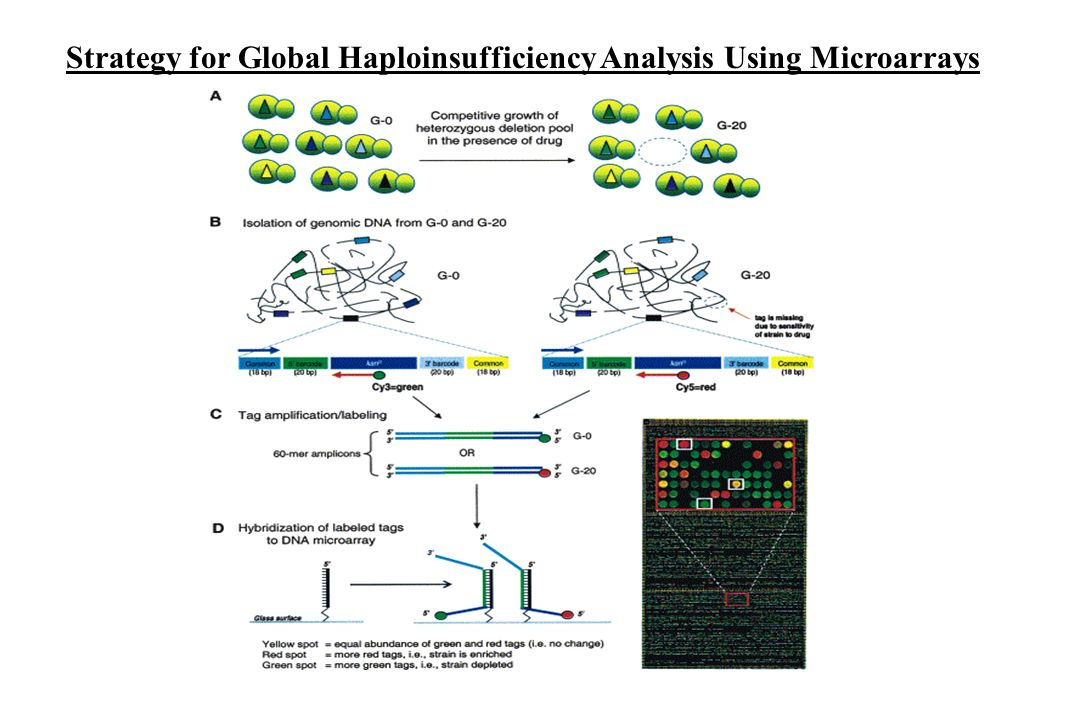 Strategy for Global Haploinsufficiency Analysis Using Microarrays