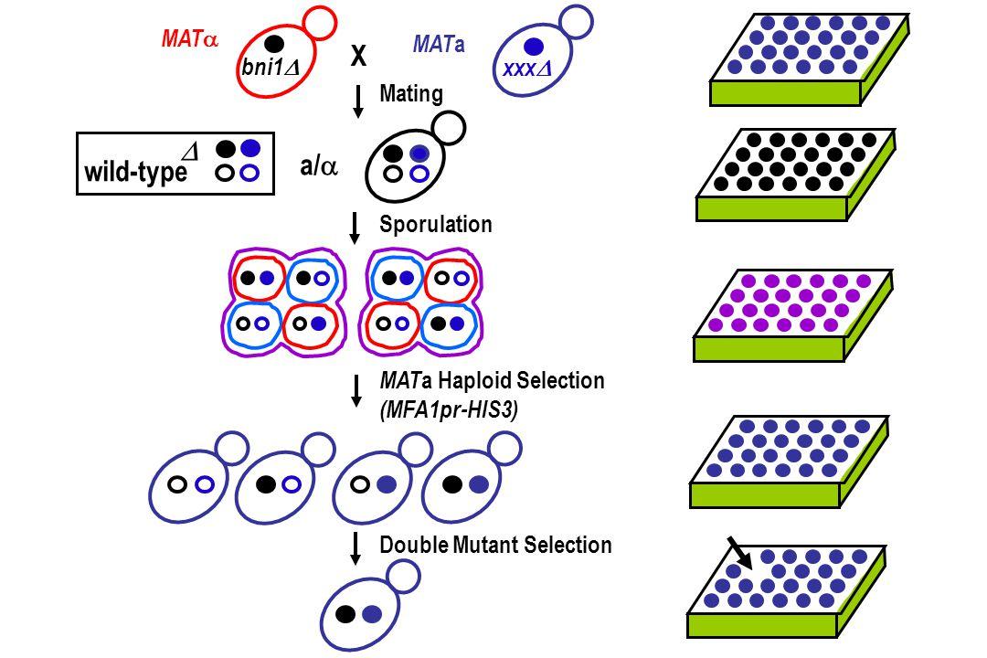 X D a/a wild-type MATa MATa bni1 xxx Mating Sporulation
