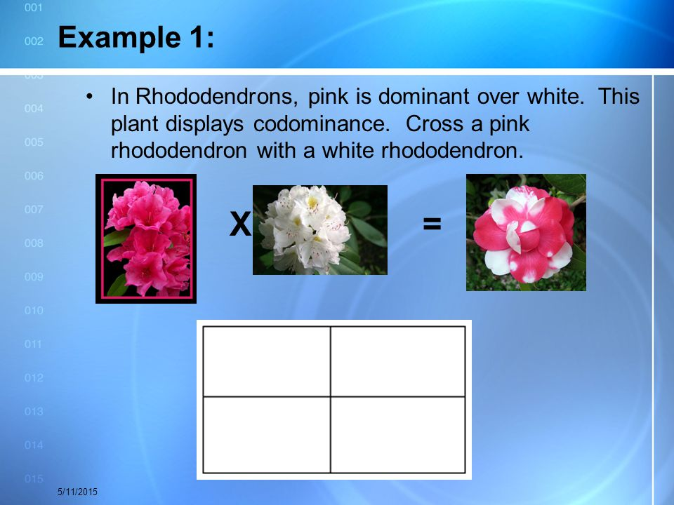 Example 1: In Rhododendrons, pink is dominant over white. This plant displays codominance. Cross a pink rhododendron with a white rhododendron.