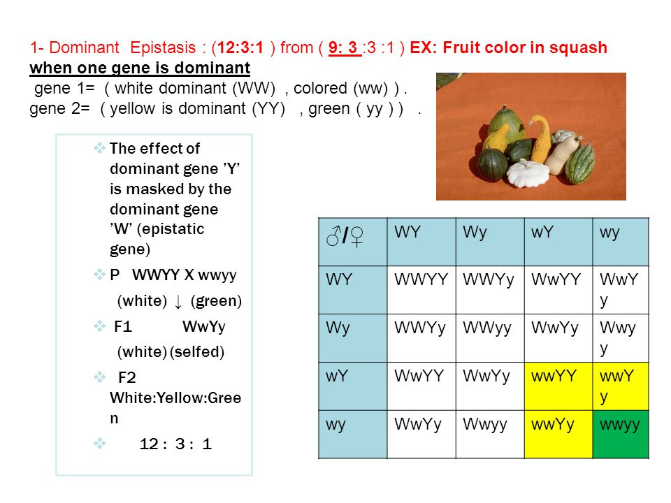 1- Dominant Epistasis : (12:3:1 ) from ( 9: 3 :3 :1 ) EX: Fruit color in squash