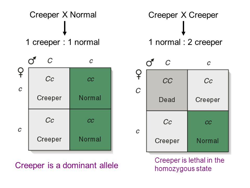 Creeper is a dominant allele
