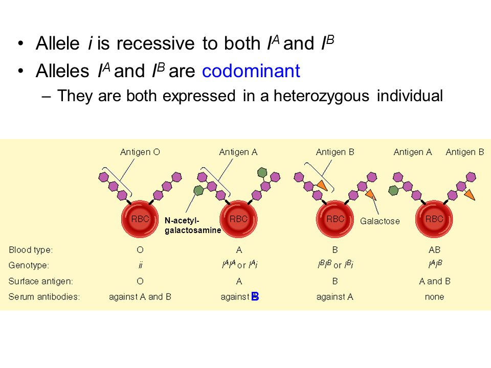 Allele i is recessive to both IA and IB