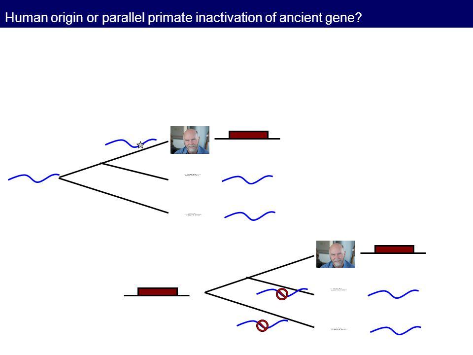 Human origin or parallel primate inactivation of ancient gene