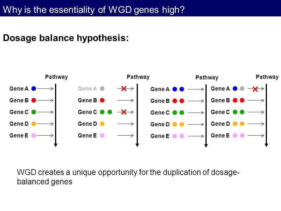 Why is the essentiality of WGD genes high