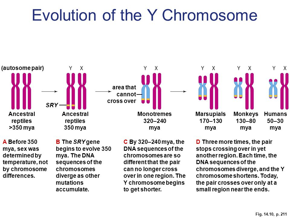 Evolution of the Y Chromosome