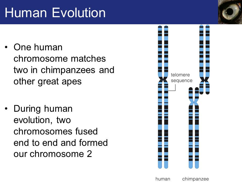 Human Evolution One human chromosome matches two in chimpanzees and other great apes.