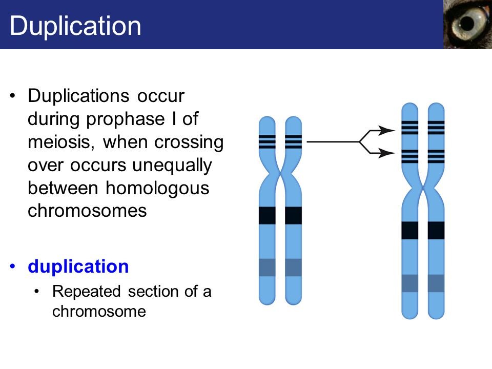Duplication Duplications occur during prophase I of meiosis, when crossing over occurs unequally between homologous chromosomes.
