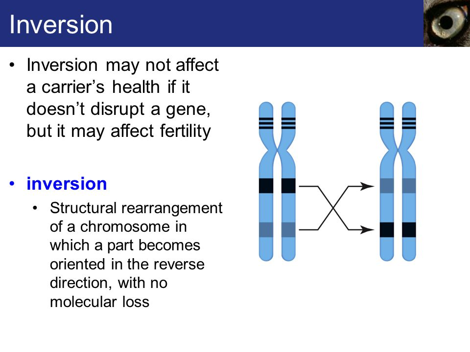 Inversion Inversion may not affect a carrier's health if it doesn't disrupt a gene, but it may affect fertility.