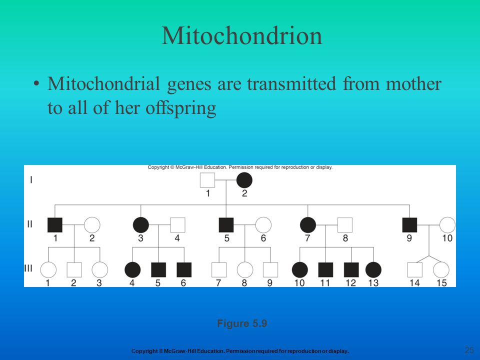 Mitochondrion Mitochondrial genes are transmitted from mother to all of her offspring Figure 5.9 25